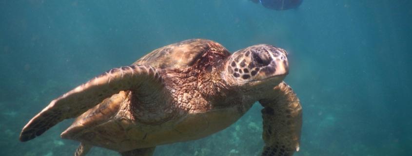snorkeling in Honolua Bay