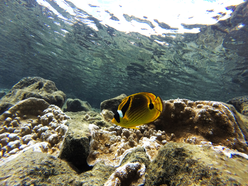 snorkeling in Kealakekua Bay