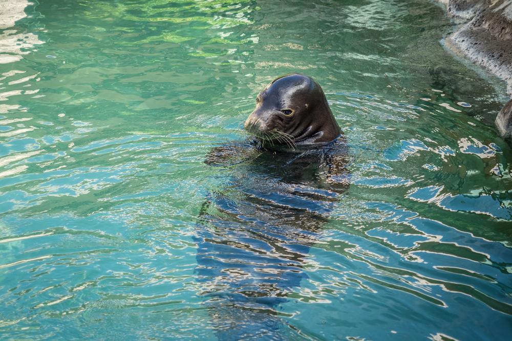 Hawaiian Monk Seal Relaxing