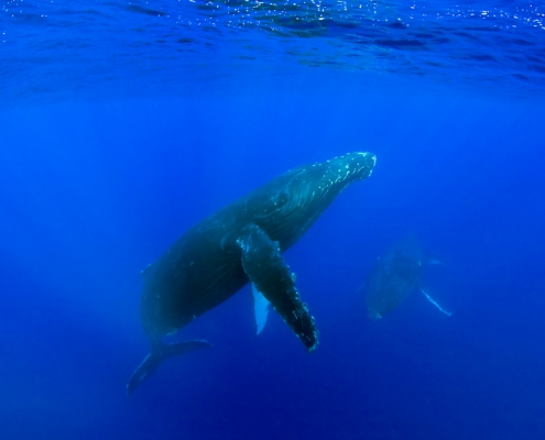13 Interesting Facts about Humpback Whales Hawaii